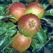 Apple (Malus) Cox - 11.5L Bush