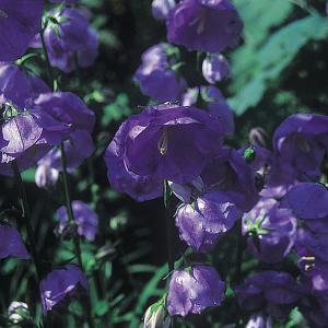 Campanula persicifolia Blue Bloomers - 2 ltr pot