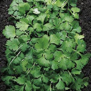 Herbs Coriander - 150 Seeds