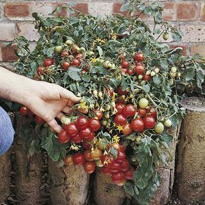 Hanging Basket Tomato F1 Tumbler - 7 Seeds