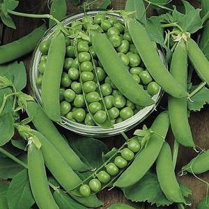 Pea Ambassador - 250 Seeds