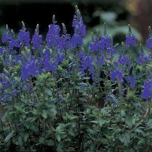 Veronica Crater Lake Blue - 2L Pot