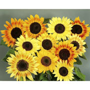 Sunflower Music Box - 30 Seeds