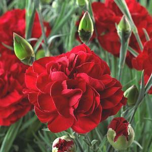 Dianthus Passion (Hardy Pink) - 2 litre pot