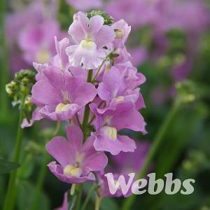 Nemesia denticulata Confetti - 2ltr pot