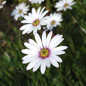 Osteospermum Pale Face (Hardy Cape Daisy) - 2ltr pot