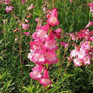 Penstemon Hewell Pink Bedder - 2L Pot