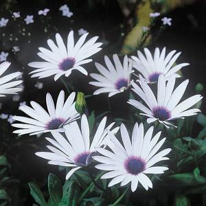 Osteospermum Helen Dimond - 1.5L Pot