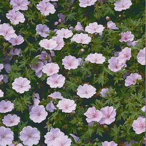 Geranium striatum Rose - 2ltr pot
