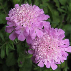 Scabiosa Ritz Pink - 2L Pot