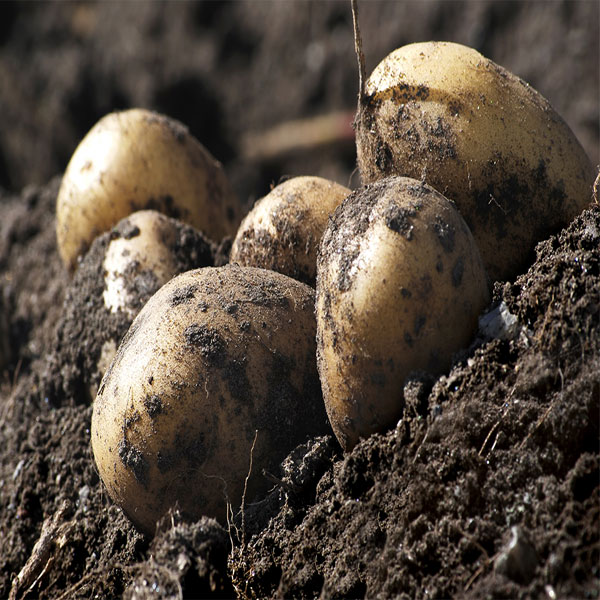 Growing Seed Potatoes In A Bag