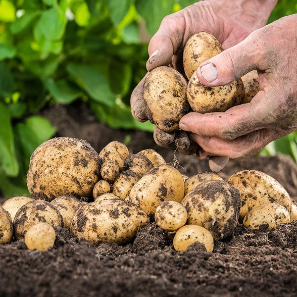 Growing Seed Potatoes In The Ground