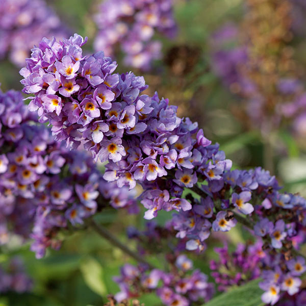 Buddleja 'Blue Chip Jr'