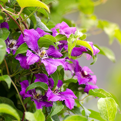 Colourful Clematis and why every garden should have them