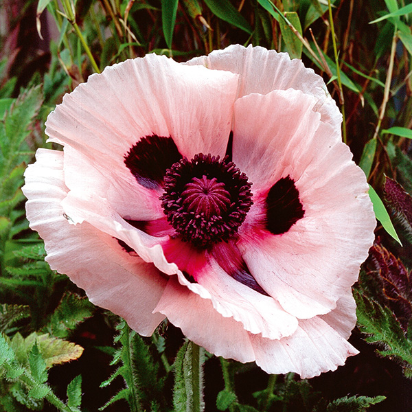 Why you need poppies in your garden this year webbs garden centre papaver orientale princess victoria louise perennial with large salmon pink flowers that suit a pastel scheme mightylinksfo