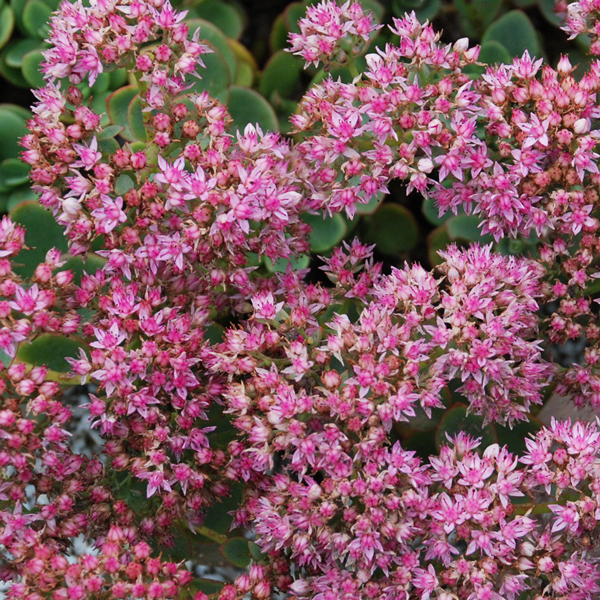 Sedum Sunsparkler Lime Zinger