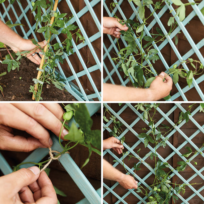 How to Plant Climbers