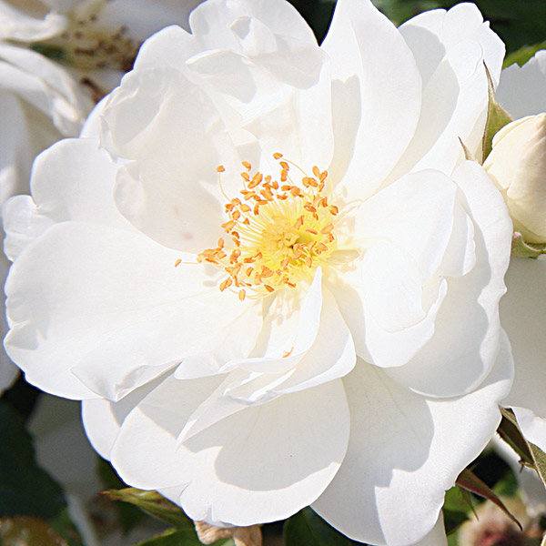 A rose for every location webbs garden centre flower carpet white shop border roses mightylinksfo Image collections