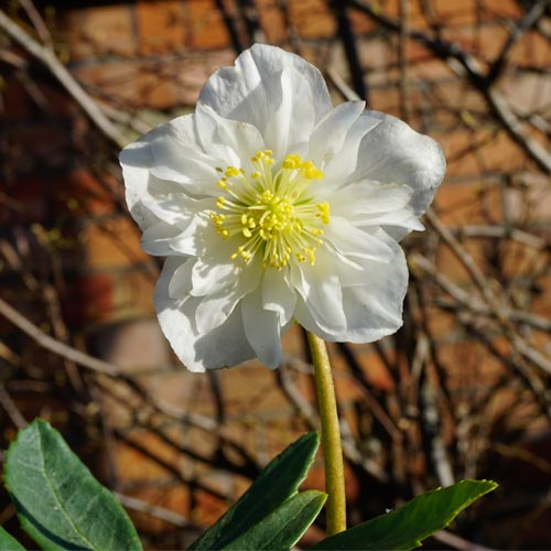 © Bob Purnell helleborus harvington double niger