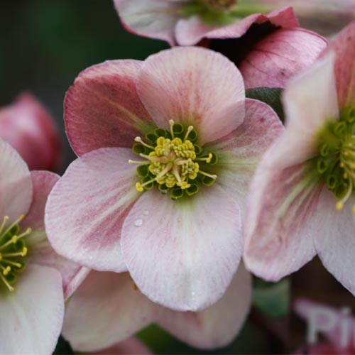 Plant and Grow Hellebores