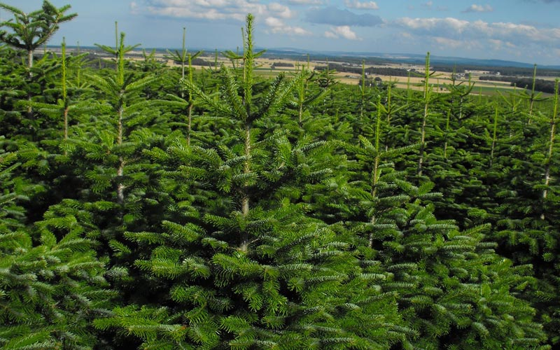 only the best real christmas trees buy online and in store - Best Real Christmas Tree