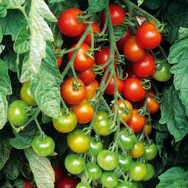 Growing Tasty Tomatoes