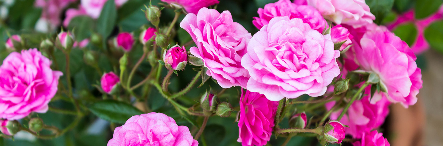 Roses Plants Seeds Bulbs Webbs Garden Centre