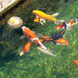 Ponds water gardening from webbs direct online for Koi pond maintenance near me