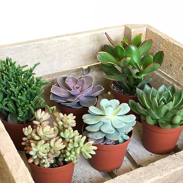 Succulent Starter Collection 8 5cm Set Of 6 Mixed Succulents