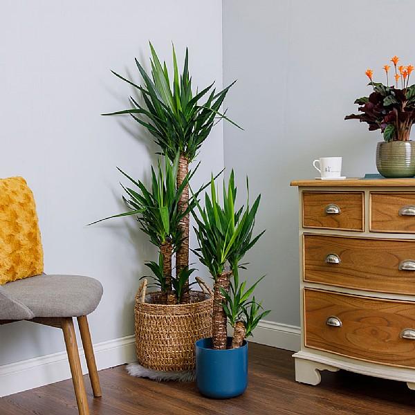 Top Yucca (Yucca Elephantipes) - Various Sizes | Foliage Plants QQ97