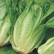RHS Lettuce Chatsworth Cos Seeds