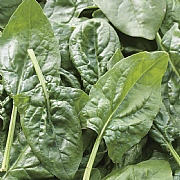 RHS Spinach Missouri F1 Seeds