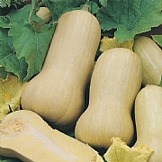 RHS Squash Butternut Harrier F1 Seeds