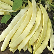 RHS Climbing French Bean Golden Gate Seeds