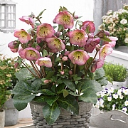 Helleborus Sally's Shell 2L