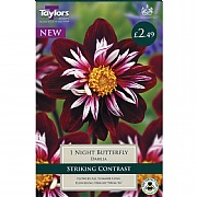 Dahlia Night Butterfly - 1 Bulb