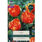 Tulip Orca (6 Bulbs)