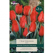 Tulip Rob Verlinden (8 Bulbs)