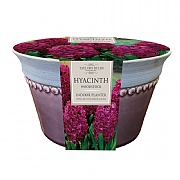 Hyacinth Woodstock Indoor Planter (3 Bulbs)