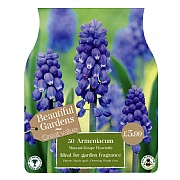 Muscari Armeniacum (50 Bulbs)