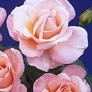 Happy Pearl Wedding Hybrid Tea Rose 3L