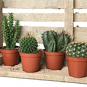 Cactus Starter Collection 8.5cm - Set of 4 Mixed Cacti