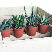 Aloe Starter Collection 9cm - Set of 4 Mixed Aloe