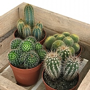 Cactus Starter Collection 12cm - Set of 4 Mixed Cacti