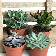 Succulent Starter Collection 12cm - Set of 4 Mixed Succulents