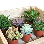 Succulent Starter Collection 8.5cm - Set of 6 Mixed Succulents
