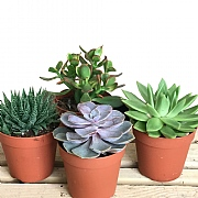 Succulent Starter Collection 10.5cm - Set of 4 Mixed Succulents