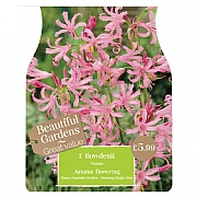 Beautiful Gardens Nerine Bowdenii - 7 Bulbs