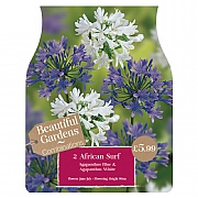 Beautiful Gardens Agapanthus African Surf - 2 Bulbs