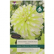 Dahlia Hollyhill Lemon Ice - 1 Bulb